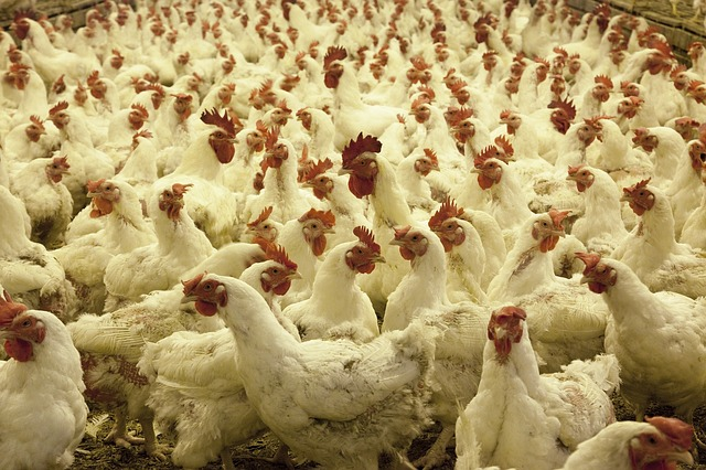 Recherche d'alternatives au gaz dans la filière avicole